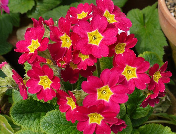 ガーデンプリムラ-アラカルト-パープルシェードの花がたくさん咲いた。2016年-2.jpg
