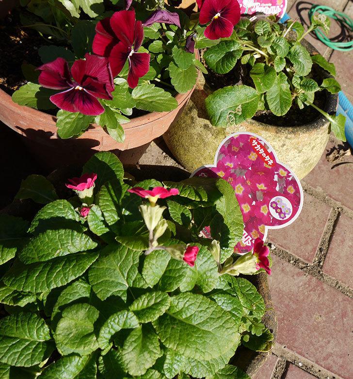 ガーデンプリムラ-アラカルト-パープルシェードの花が咲いた。2016年-3.jpg