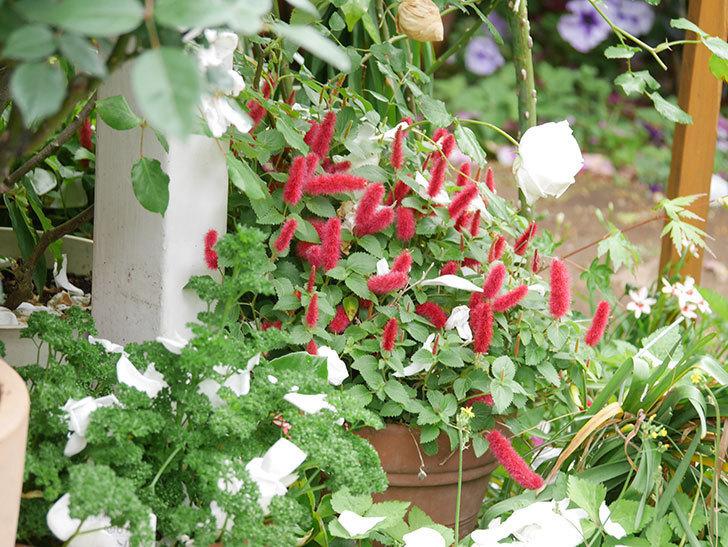 キャットテールの花が咲いた。2021年-001.jpg
