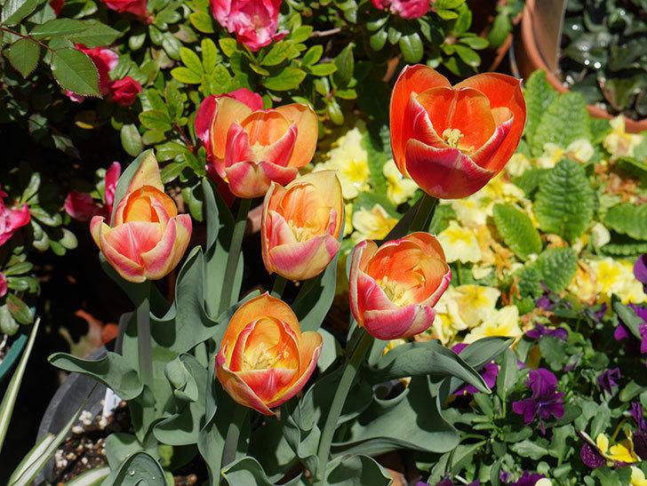 キャンディーコーナー(チューリップ)の花が咲いた。2019年-1.jpg