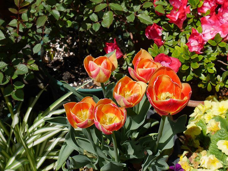 キャンディーコーナー(チューリップ)の花が咲いた。2019年-2.jpg