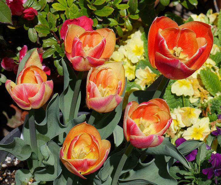 キャンディーコーナー(チューリップ)の花が咲いた。2019年-5.jpg