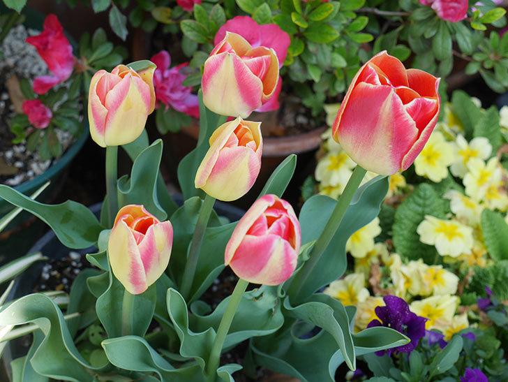 キャンディーコーナー(チューリップ)の花が咲いた。2019年-9.jpg