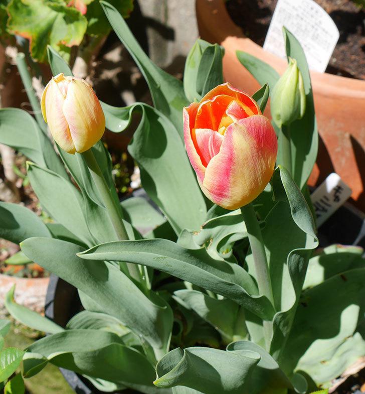 キャンディーコーナー(チューリップ)の花が咲きだした。2019年-5.jpg