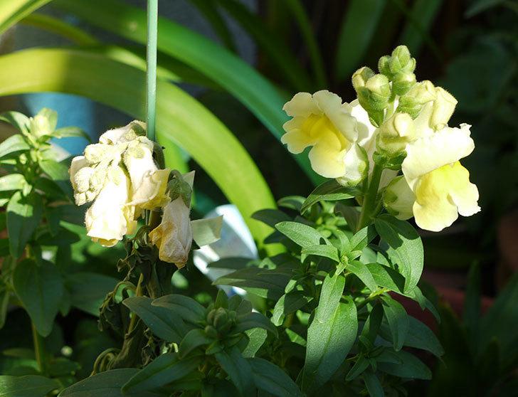 キンギョソウ-モンテゴのイエローの花が咲きだした。2016年-2.jpg