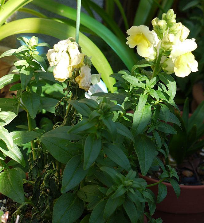 キンギョソウ-モンテゴのイエローの花が咲きだした。2016年-3.jpg