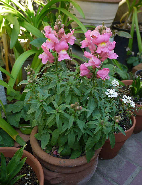 キンギョソウ-モンテゴのピンクの花が咲いた。2016年-2.jpg