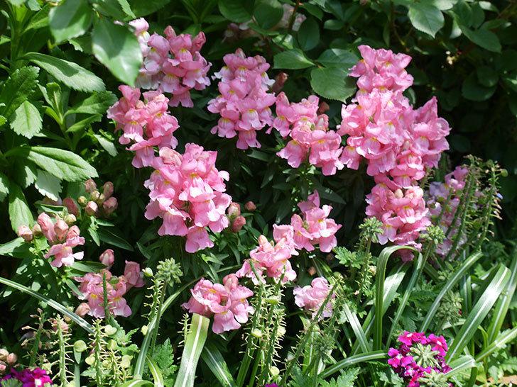 キンギョソウ-モンテゴのピンクの花が咲いた。2017年-1.jpg