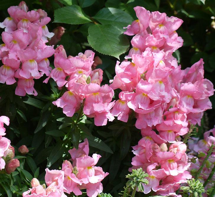キンギョソウ-モンテゴのピンクの花が咲いた。2017年-3.jpg
