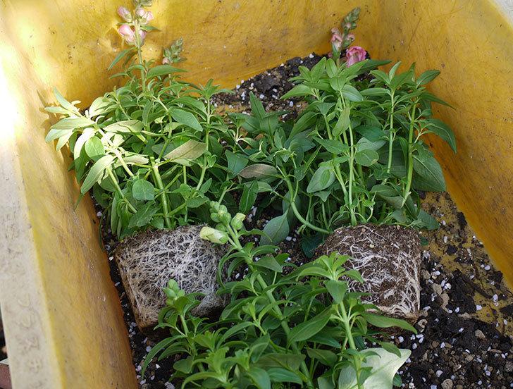 キンギョソウ-モンテゴを鉢に植えた。2016年-1.jpg