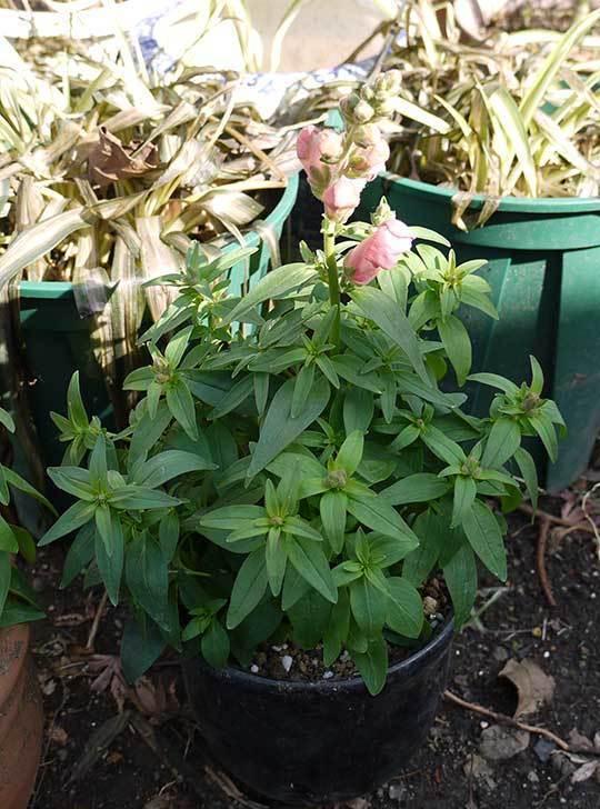 キンギョソウ-モンテゴを鉢に植えた。2016年-7.jpg