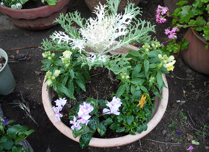 キンギョソウとミニシクラメンと葉牡丹とビオラを鉢に植え替えた1.jpg