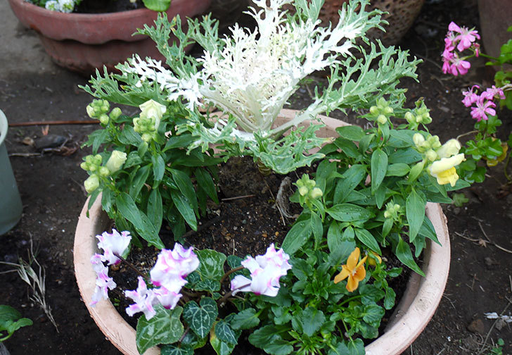 キンギョソウとミニシクラメンと葉牡丹とビオラを鉢に植え替えた2.jpg