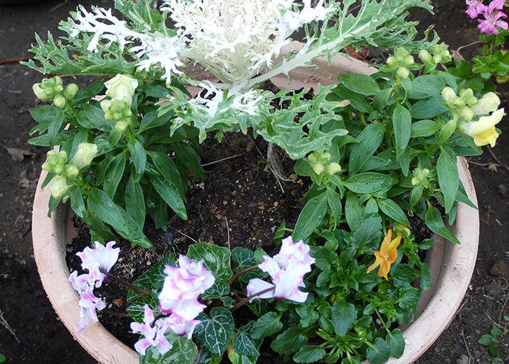 キンギョソウとミニシクラメンと葉牡丹とビオラを鉢に植え替えた3.jpg