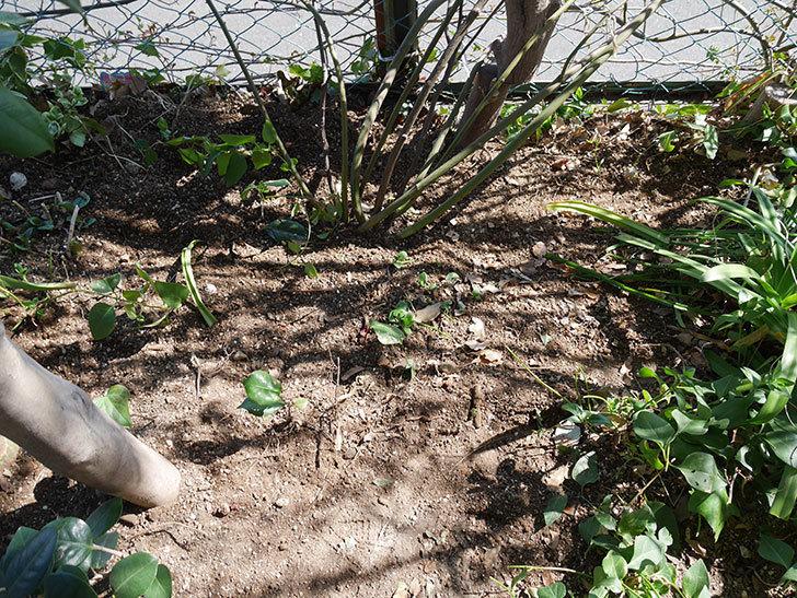 キングローズ(King Rose)に寒肥を施した。ツルバラ。2021年-016.jpg