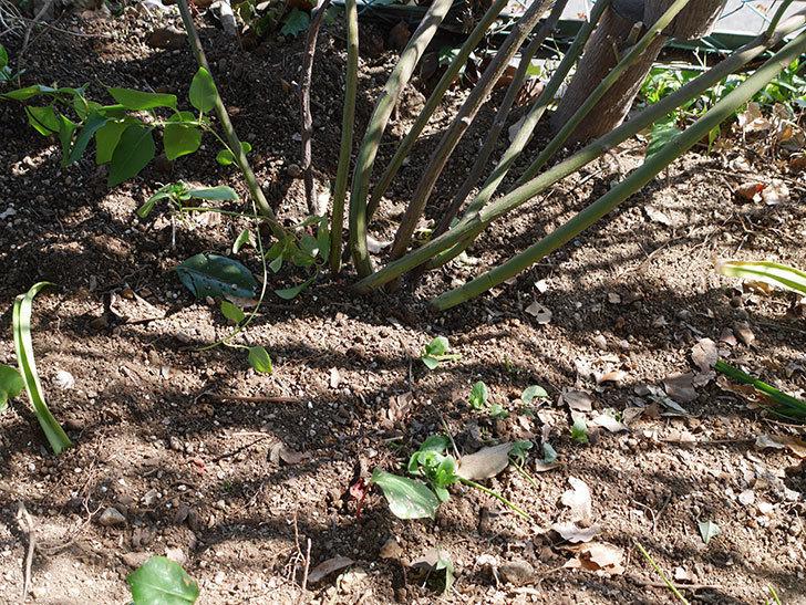 キングローズ(King Rose)に寒肥を施した。ツルバラ。2021年-017.jpg