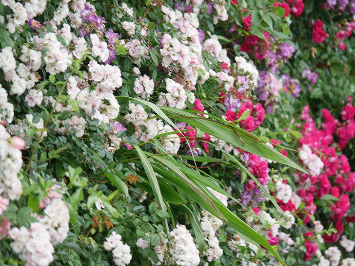 キングローズ(King Rose)の花がたくさん咲いた。ツルバラ。2021年-001.jpg