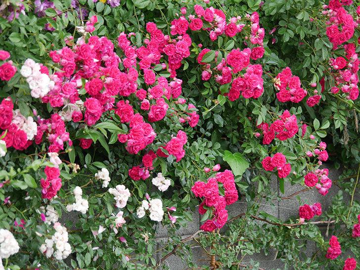 キングローズ(King Rose)の花がたくさん咲いた。ツルバラ。2021年-002.jpg
