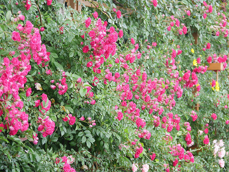 キングローズ(King Rose)の花がたくさん咲いた。ツルバラ。2021年-003.jpg