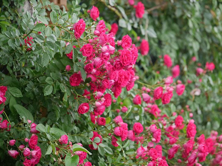 キングローズ(King Rose)の花がたくさん咲いた。ツルバラ。2021年-004.jpg