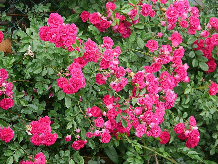 キングローズ(King Rose)の花がたくさん咲いた。ツルバラ。2021年-005.jpg
