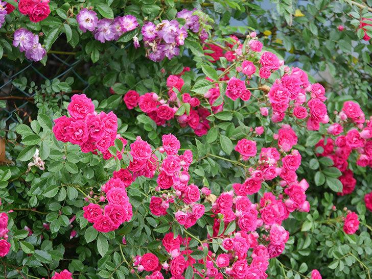 キングローズ(King Rose)の花がたくさん咲いた。ツルバラ。2021年-006.jpg