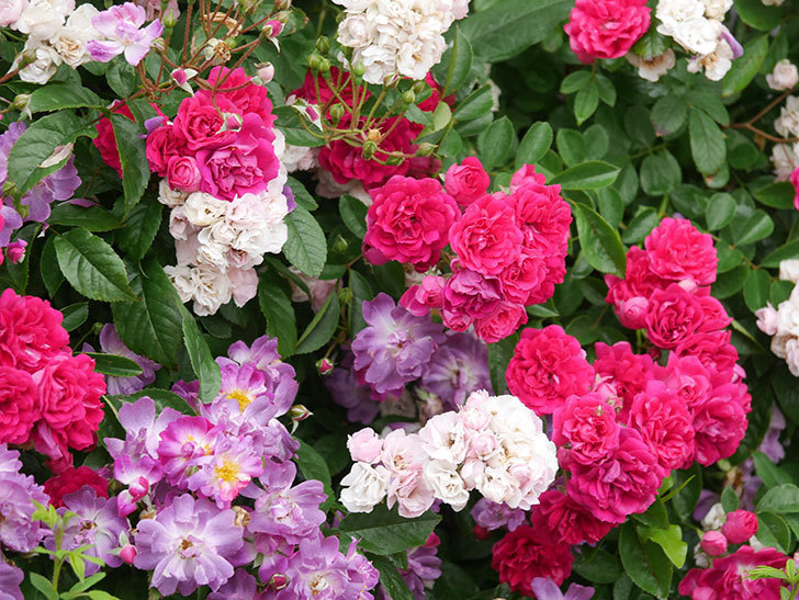 キングローズ(King Rose)の花がたくさん咲いた。ツルバラ。2021年-007.jpg