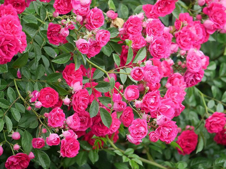 キングローズ(King Rose)の花がたくさん咲いた。ツルバラ。2021年-008.jpg