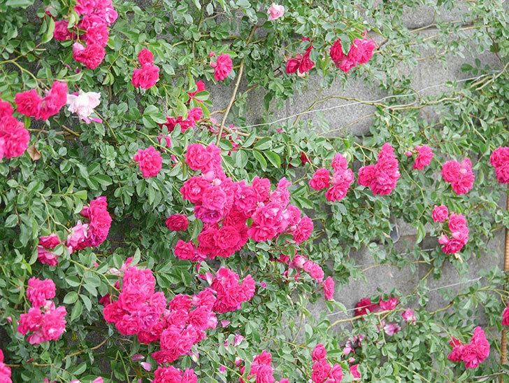 キングローズ(King Rose)の花がたくさん咲いた。ツルバラ。2021年-009.jpg