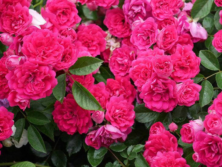 キングローズ(King Rose)の花がたくさん咲いた。ツルバラ。2021年-010.jpg