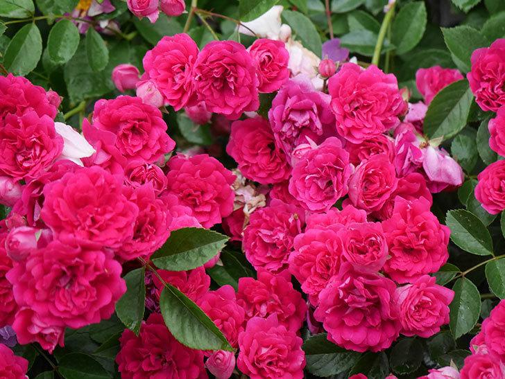 キングローズ(King Rose)の花がたくさん咲いた。ツルバラ。2021年-011.jpg