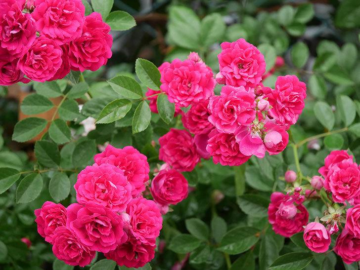 キングローズ(King Rose)の花がたくさん咲いた。ツルバラ。2021年-012.jpg