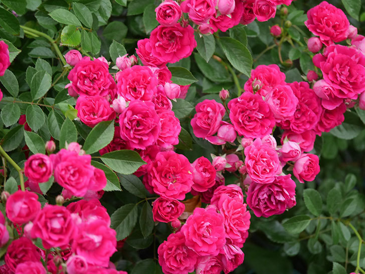 キングローズ(King Rose)の花がたくさん咲いた。ツルバラ。2021年-013.jpg