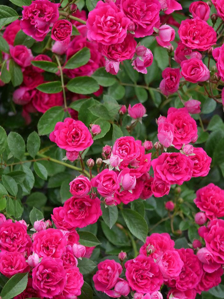 キングローズ(King Rose)の花がたくさん咲いた。ツルバラ。2021年-014.jpg