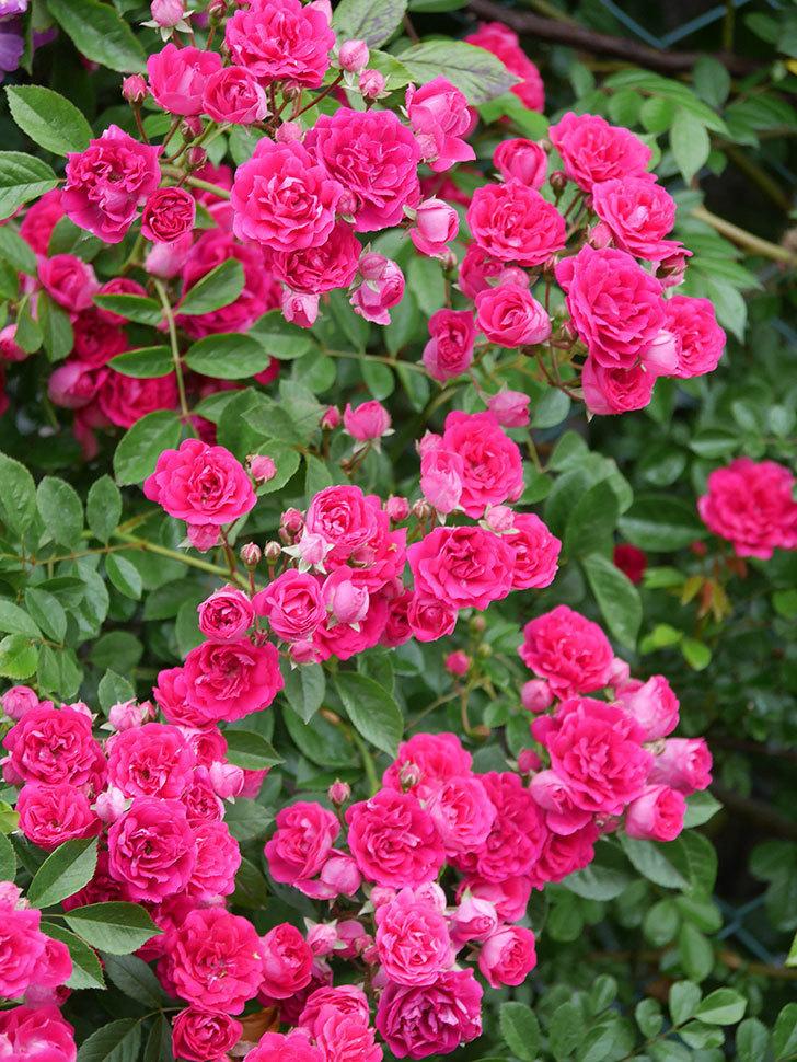 キングローズ(King Rose)の花がたくさん咲いた。ツルバラ。2021年-015.jpg