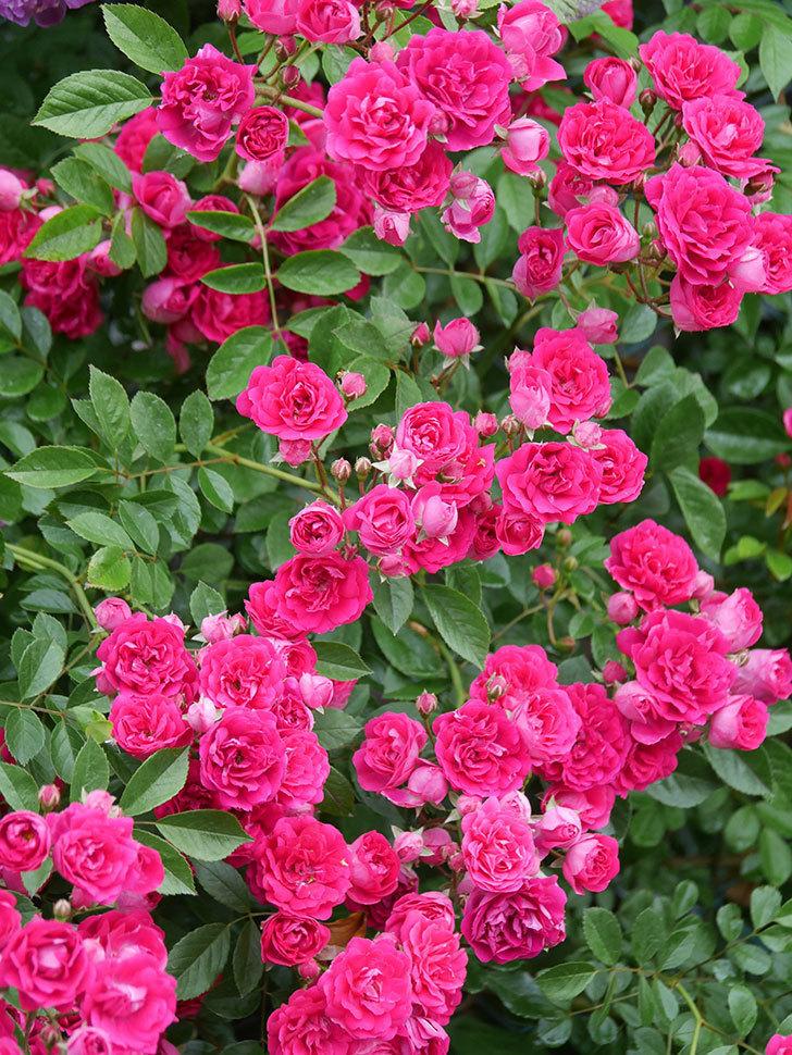 キングローズ(King Rose)の花がたくさん咲いた。ツルバラ。2021年-016.jpg