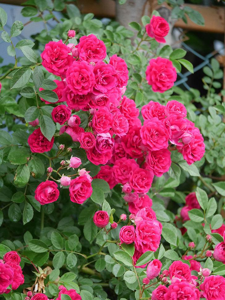 キングローズ(King Rose)の花がたくさん咲いた。ツルバラ。2021年-017.jpg