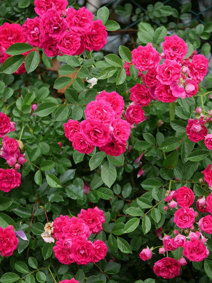 キングローズ(King Rose)の花がたくさん咲いた。ツルバラ。2021年-018.jpg