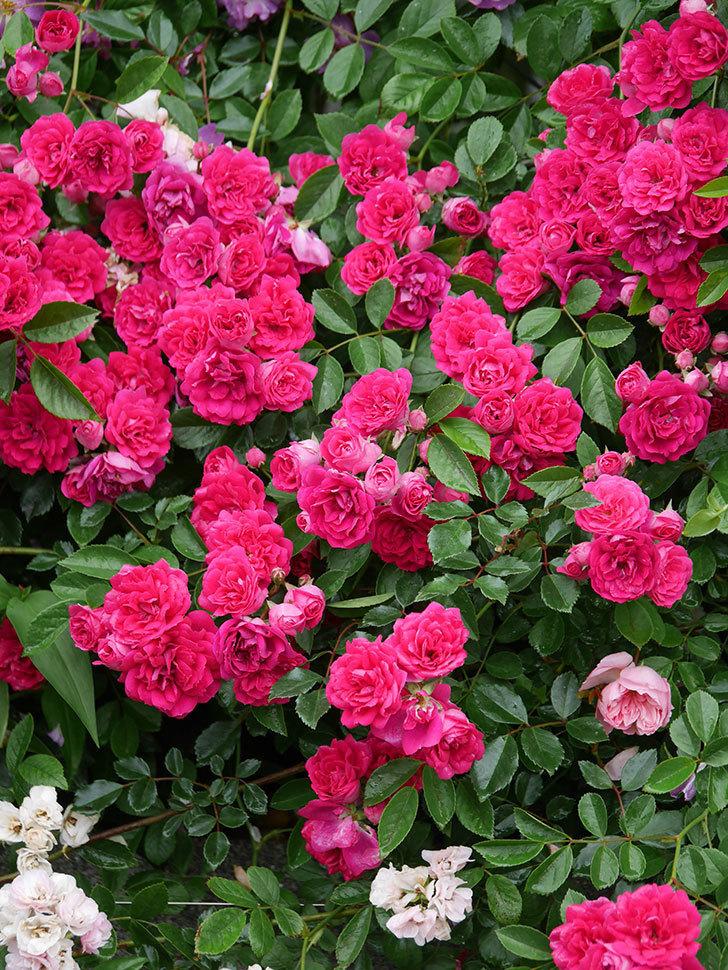 キングローズ(King Rose)の花がたくさん咲いた。ツルバラ。2021年-019.jpg