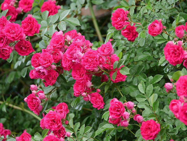 キングローズ(King Rose)の花がたくさん咲いた。ツルバラ。2021年-020.jpg