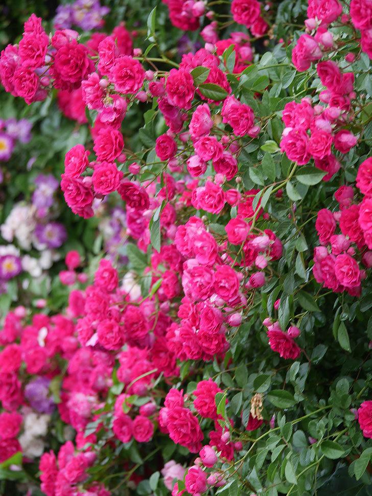キングローズ(King Rose)の花がたくさん咲いた。ツルバラ。2021年-021.jpg
