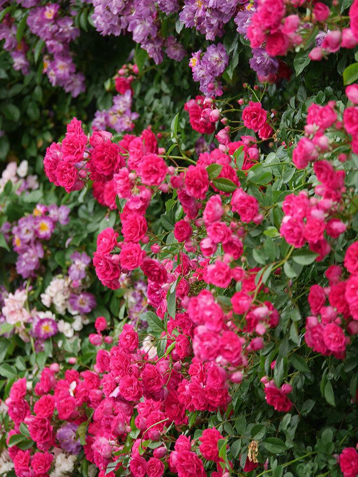 キングローズ(King Rose)の花がたくさん咲いた。ツルバラ。2021年-022.jpg