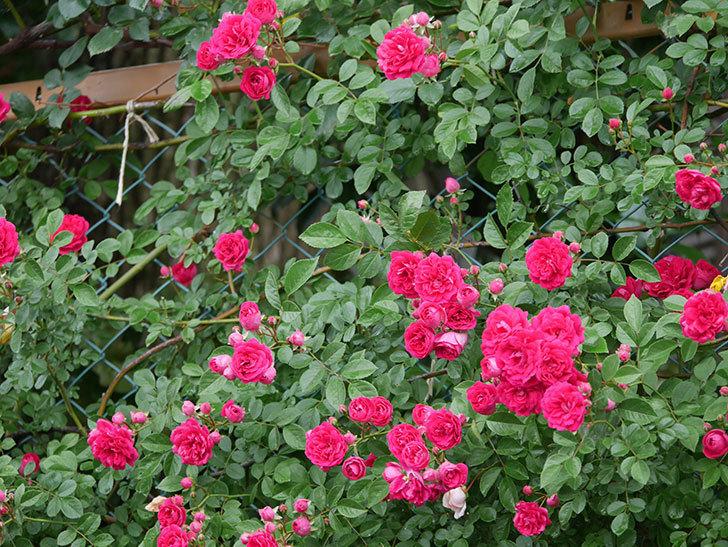 キングローズ(King Rose)の花がたくさん咲いた。ツルバラ。2021年-023.jpg