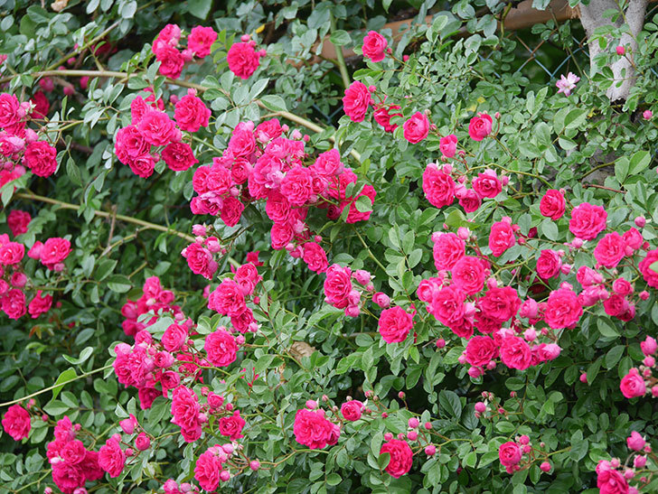 キングローズ(King Rose)の花がたくさん咲いた。ツルバラ。2021年-024.jpg