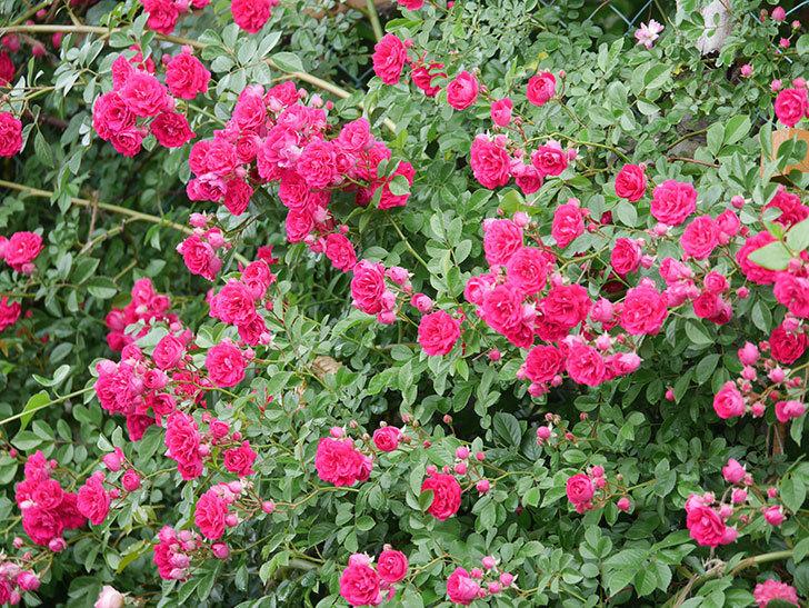 キングローズ(King Rose)の花がたくさん咲いた。ツルバラ。2021年-025.jpg