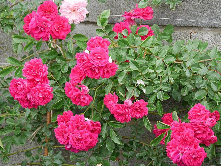 キングローズ(King Rose)の花がたくさん咲いた。ツルバラ。2021年-026.jpg