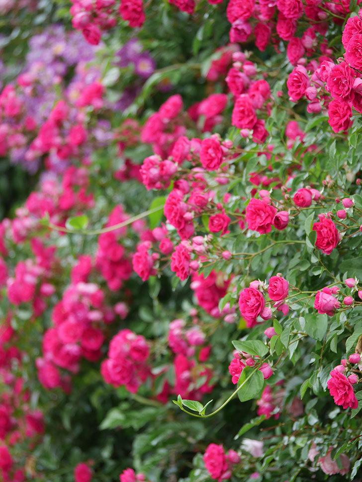 キングローズ(King Rose)の花がたくさん咲いた。ツルバラ。2021年-027.jpg