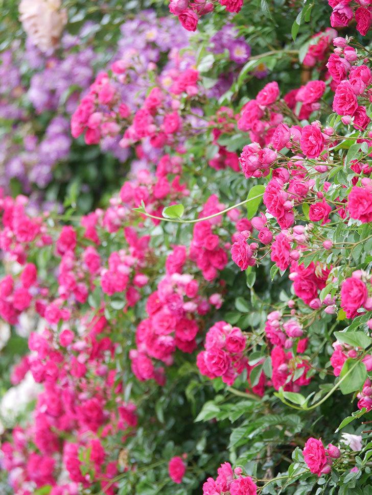 キングローズ(King Rose)の花がたくさん咲いた。ツルバラ。2021年-028.jpg