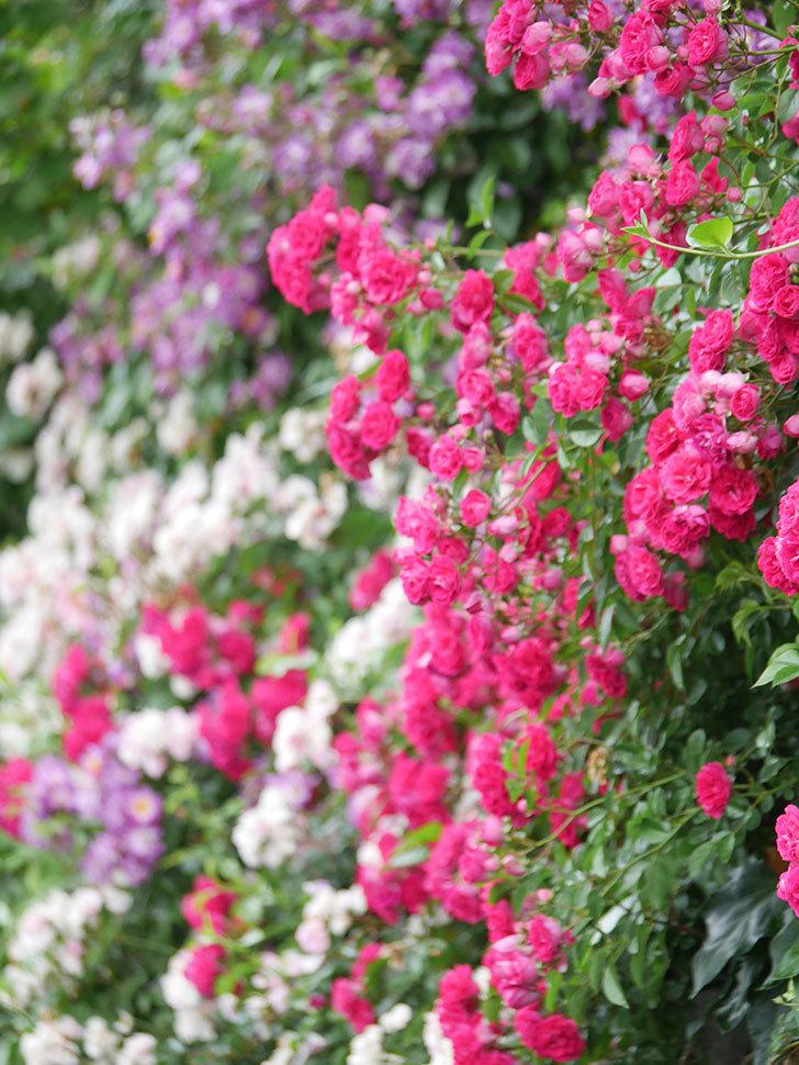 キングローズ(King Rose)の花がたくさん咲いた。ツルバラ。2021年-029.jpg