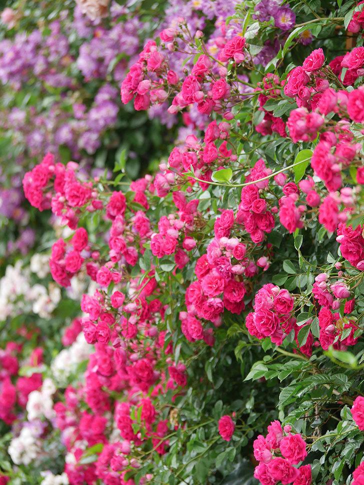 キングローズ(King Rose)の花がたくさん咲いた。ツルバラ。2021年-030.jpg